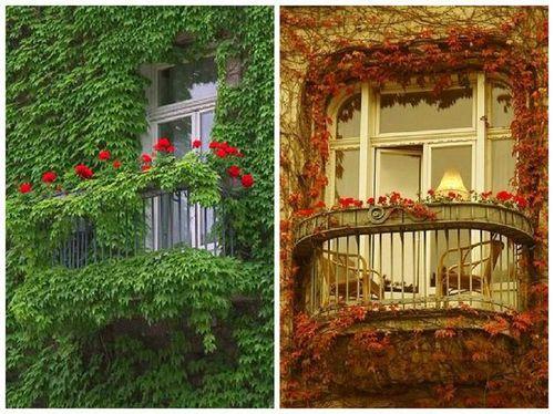 Виноград на балконе выращивание: как вырастить девичий виноград